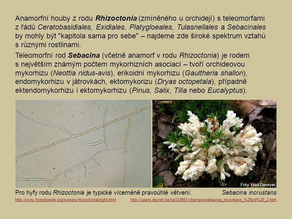 Anamorfní houby z rodu Rhizoctonia (zmíněného u orchidejí) s teleomorfami z řádů Ceratobasidiales, Exidiales, Platygloeales, Tulasnellales a Sebacinal