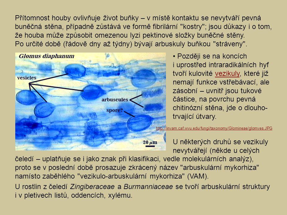 Dva základní morfologické typy arbuskulární mykorhizy: – typ Arum (linear AM): v mezibuněčných prostorech kořenové kůry se rozrůstá hyfová síť, jejíž boční výběžky invaginují korové buňky a vytvářejí arbuskuly (bývají stráveny za 4–20 dní); vezikuly jsou obvykle intercelulární; Velký laterální arbuskulus (typický pro typ Arum) Glomus mosseae v kořeni Fragaria vesca http://www.sci.muni.cz/~mykorrhi/html/arbuscule.htm Dole: Podélný růst hyf Glomus versiforme s tvorbou arbuskulů; jejich počet vzrůstá se vzdáleností od růstového vrcholu hyfy.