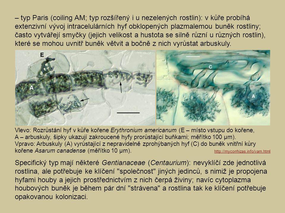 – typ Paris (coiling AM; typ rozšířený i u nezelených rostlin): v kůře probíhá extenzivní vývoj intracelulárních hyf obklopených plazmalemou buněk ros
