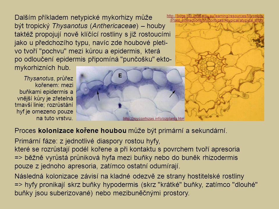 Dalším příkladem netypické mykorhizy může být tropický Thysanotus (Anthericaceae) – houby taktéž propojují nově klíčící rostliny s již rostoucími jako