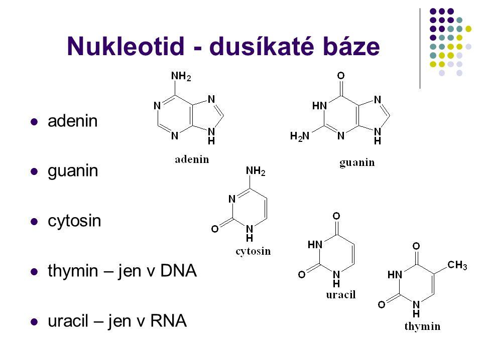 Nukleotid - dusíkaté báze adenin guanin cytosin thymin – jen v DNA uracil – jen v RNA