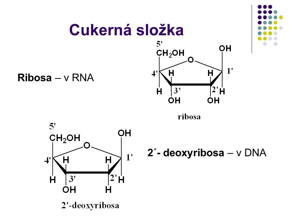 Cukerná složka Ribosa – v RNA 2´- deoxyribosa – v DNA