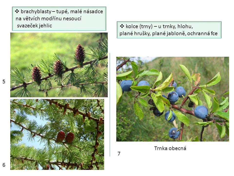  brachyblasty – tupé, malé násadce na větvích modřínu nesoucí svazeček jehlic  kolce (trny) – u trnky, hlohu, plané hrušky, plané jabloně, ochranná