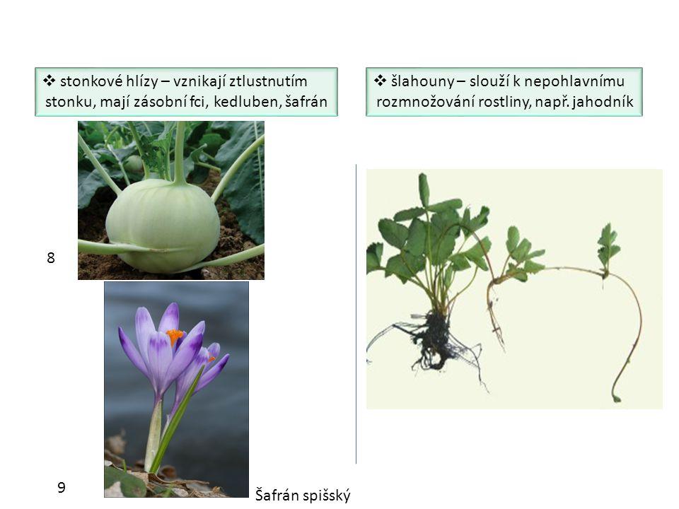  stonkové hlízy – vznikají ztlustnutím stonku, mají zásobní fci, kedluben, šafrán  šlahouny – slouží k nepohlavnímu rozmnožování rostliny, např. jah