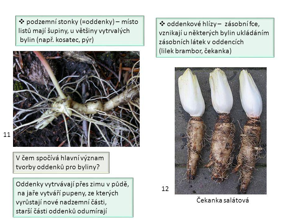  podzemní stonky (=oddenky) – místo listů mají šupiny, u většiny vytrvalých bylin (např. kosatec, pýr)  oddenkové hlízy – zásobní fce, vznikají u ně