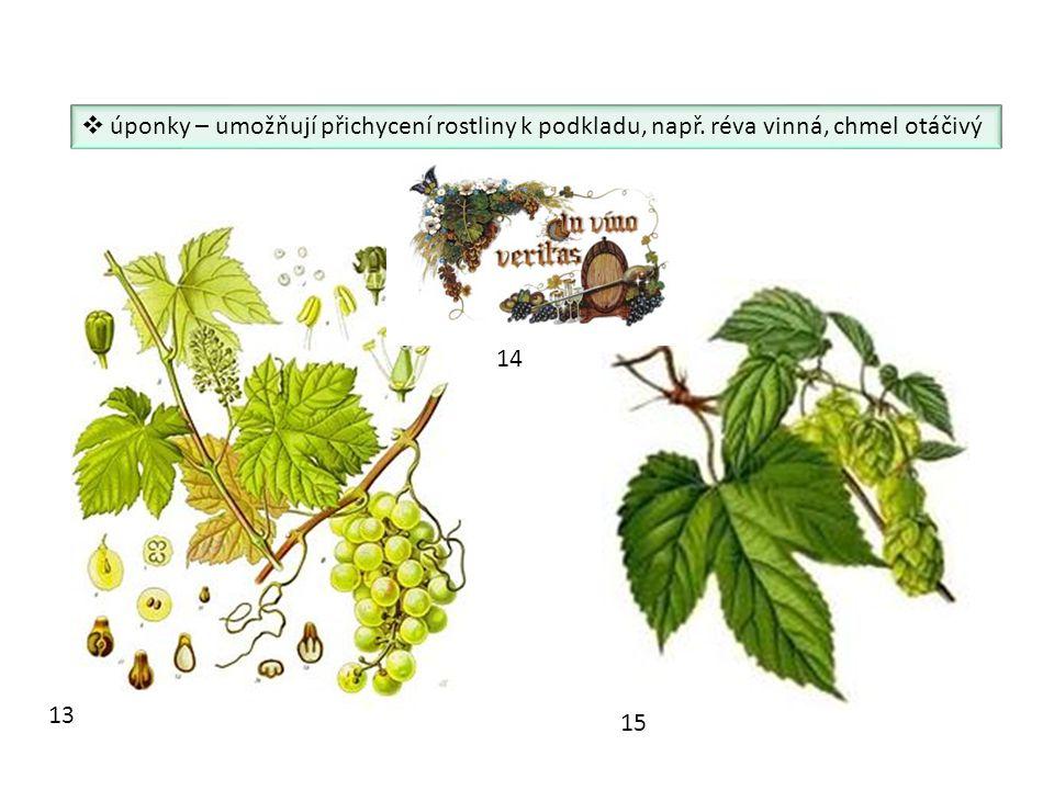 úponky – umožňují přichycení rostliny k podkladu, např. réva vinná, chmel otáčivý 13 14 15