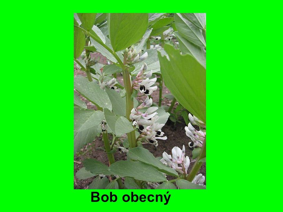 Bob obecný