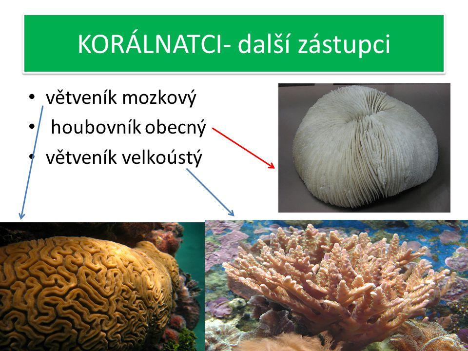 KORÁLNATCI-korál červený Žijí v teplých mořích-přisedle Ve stadiu polypa celý život Kostru těla tvoří rohovité nebo uhličitanové schránky Vznik korálo