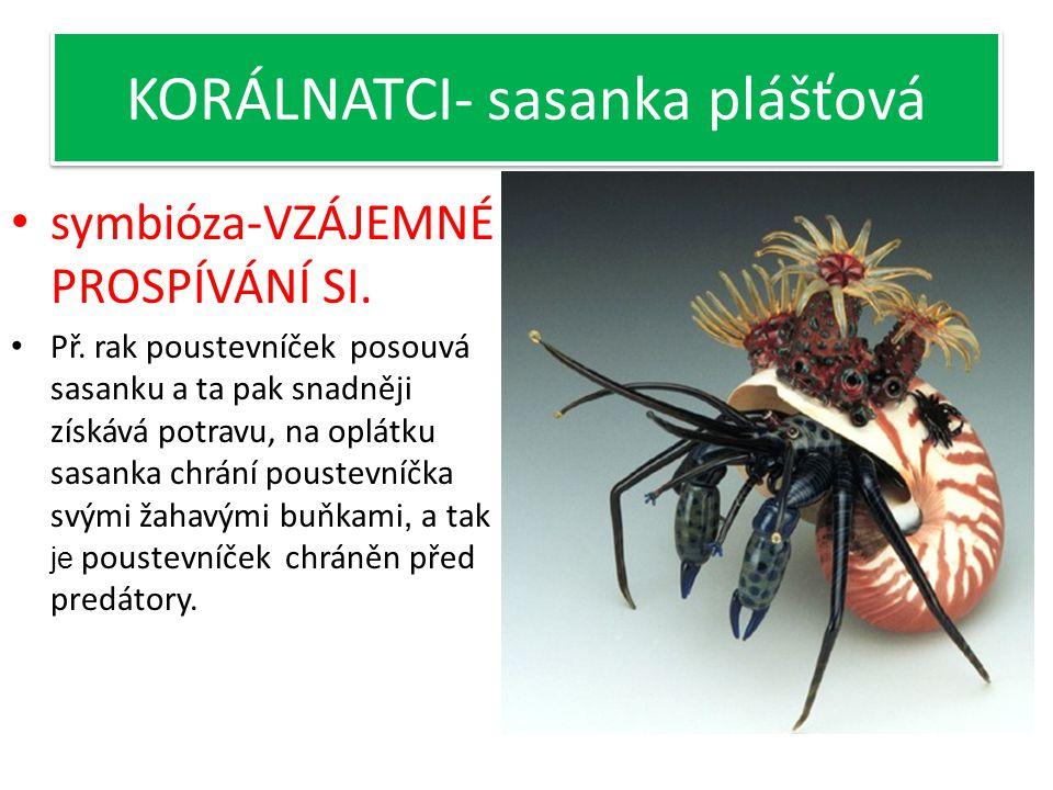 KORÁLNATCI- sasanka plášťová Žije v symbióze s rakem poustevníčkem. ÚKOL: zopakujte si co je to symbióza.