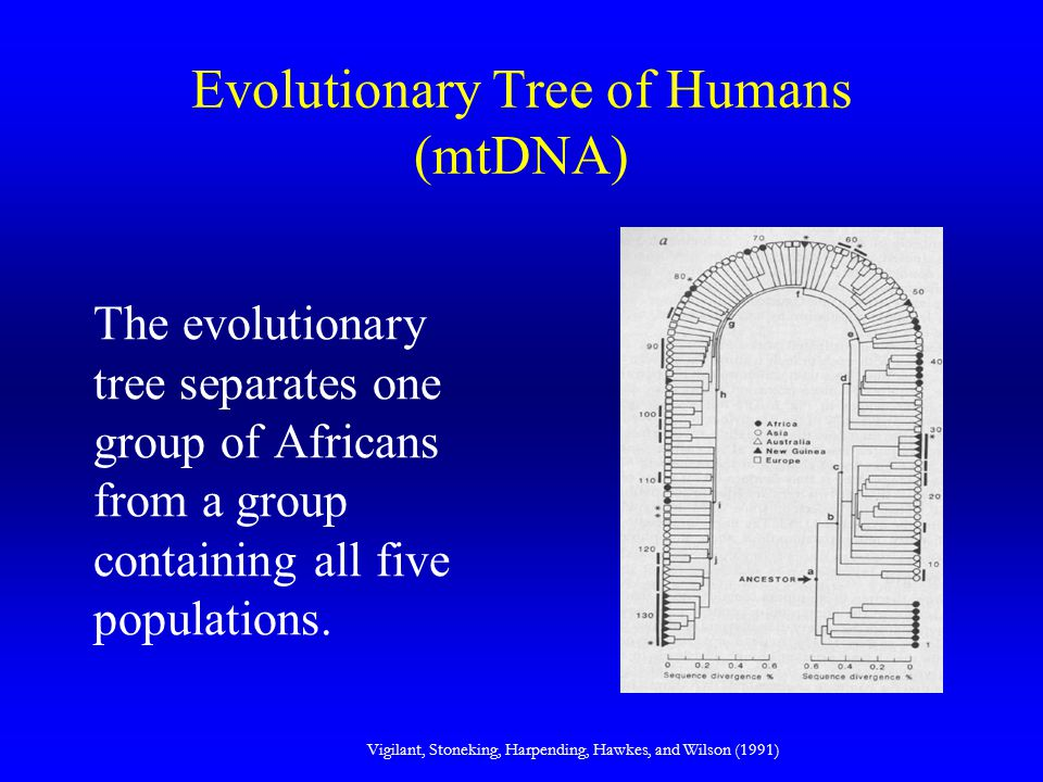 Evolutionary Tree of Humans (mtDNA) The evolutionary tree separates one group of Africans from a group containing all five populations. Vigilant, Ston