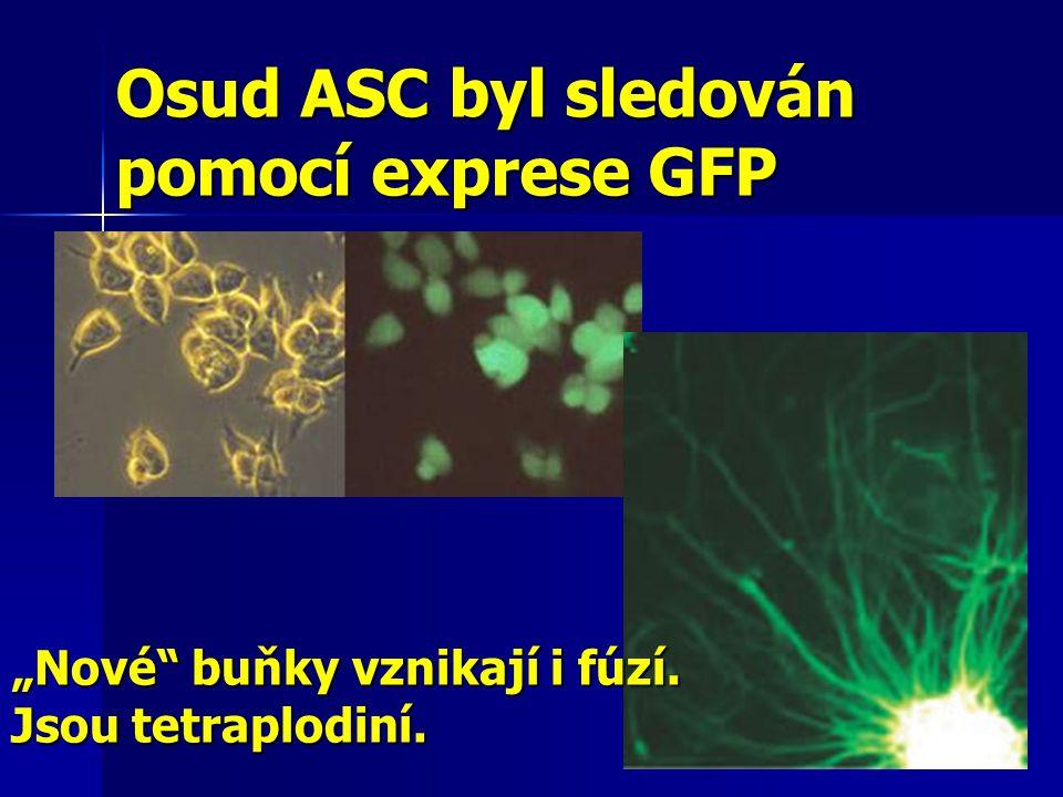 """Osud ASC byl sledován pomocí exprese GFP """"Nové"""" buňky vznikají i fúzí. Jsou tetraplodiní."""
