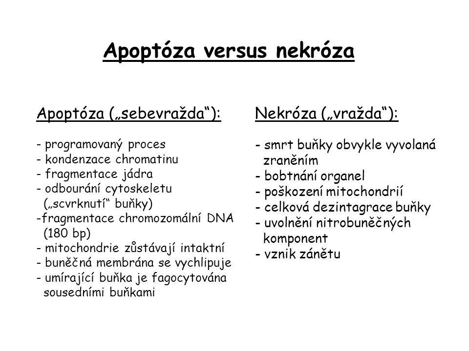 """Apoptóza (""""sebevražda ): - programovaný proces - kondenzace chromatinu - fragmentace jádra - odbourání cytoskeletu (""""scvrknutí buňky) -fragmentace chromozomální DNA (180 bp) - mitochondrie zůstávají intaktní - buněčná membrána se vychlipuje - umírající buňka je fagocytována sousedními buňkami Nekróza (""""vražda ): - smrt buňky obvykle vyvolaná zraněním - bobtnání organel - poškození mitochondrií - celková dezintagrace buňky - uvolnění nitrobuněčných komponent - vznik zánětu Apoptóza versus nekróza"""