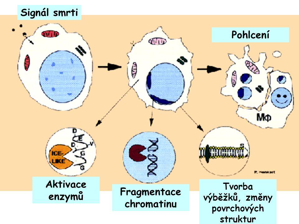 Signál smrti Aktivace enzymů Fragmentace chromatinu Tvorba výběžků, změny povrchových struktur Pohlcení
