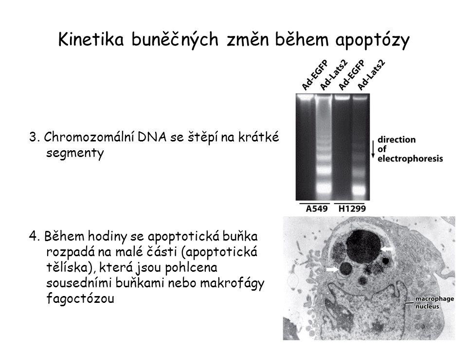 Kinetika buněčných změn během apoptózy 3. Chromozomální DNA se štěpí na krátké segmenty 4. Během hodiny se apoptotická buňka rozpadá na malé části (ap
