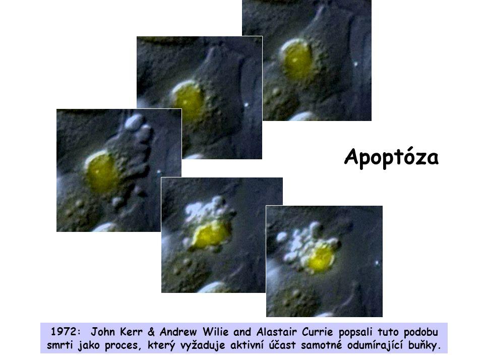 Apoptóza 1972: John Kerr & Andrew Wilie and Alastair Currie popsali tuto podobu smrti jako proces, který vyžaduje aktivní účast samotné odumírající buňky.