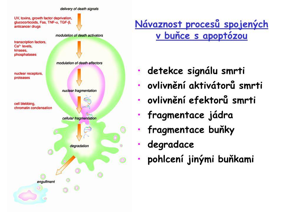Návaznost procesů spojených v buňce s apoptózou detekce signálu smrti ovlivnění aktivátorů smrti ovlivnění efektorů smrti fragmentace jádra fragmentace buňky degradace pohlcení jinými buňkami