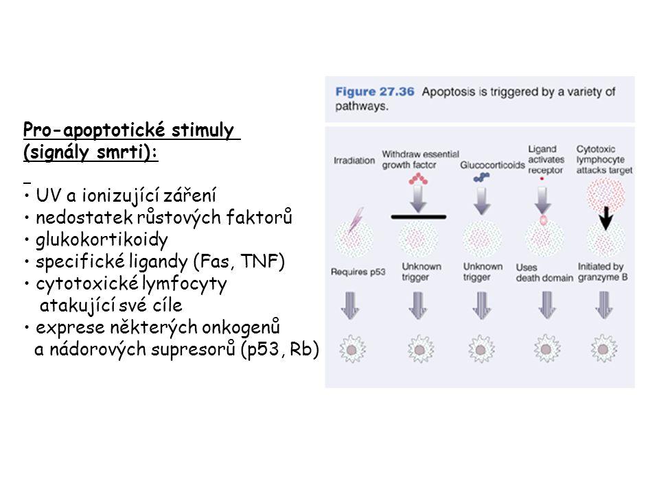 Pro-apoptotické stimuly (signály smrti): UV a ionizující záření nedostatek růstových faktorů glukokortikoidy specifické ligandy (Fas, TNF) cytotoxické lymfocyty atakující své cíle exprese některých onkogenů a nádorových supresorů (p53, Rb)