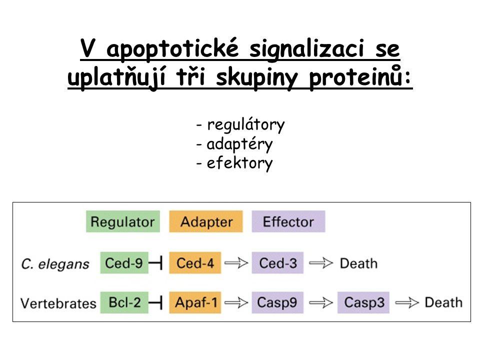 V apoptotické signalizaci se uplatňují tři skupiny proteinů: - regulátory - adaptéry - efektory