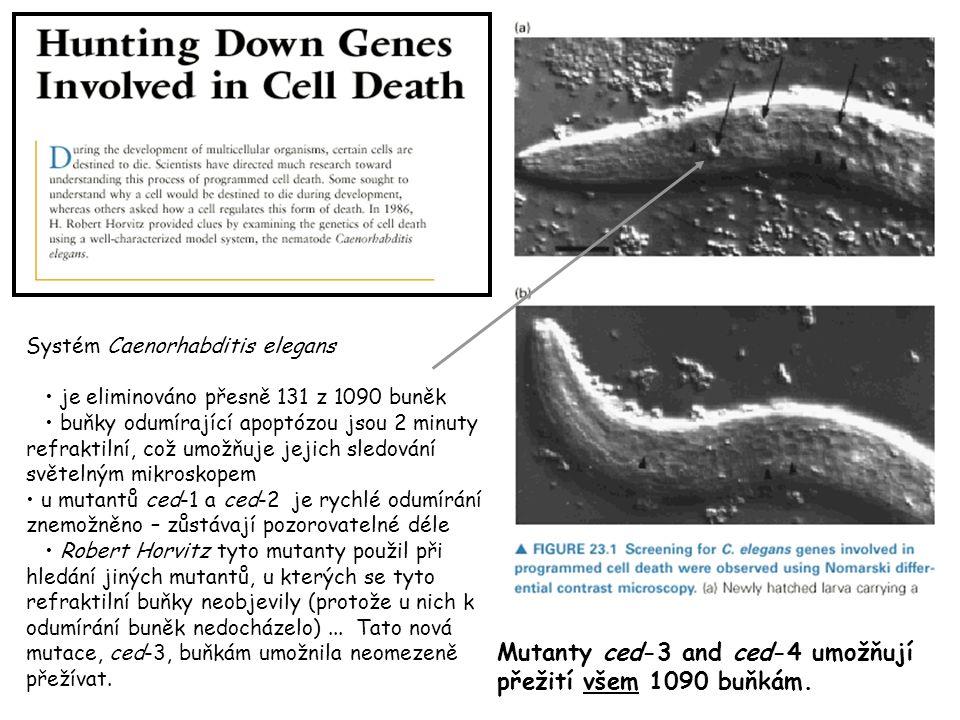 Systém Caenorhabditis elegans je eliminováno přesně 131 z 1090 buněk buňky odumírající apoptózou jsou 2 minuty refraktilní, což umožňuje jejich sledování světelným mikroskopem u mutantů ced-1 a ced-2 je rychlé odumírání znemožněno – zůstávají pozorovatelné déle Robert Horvitz tyto mutanty použil při hledání jiných mutantů, u kterých se tyto refraktilní buňky neobjevily (protože u nich k odumírání buněk nedocházelo)...