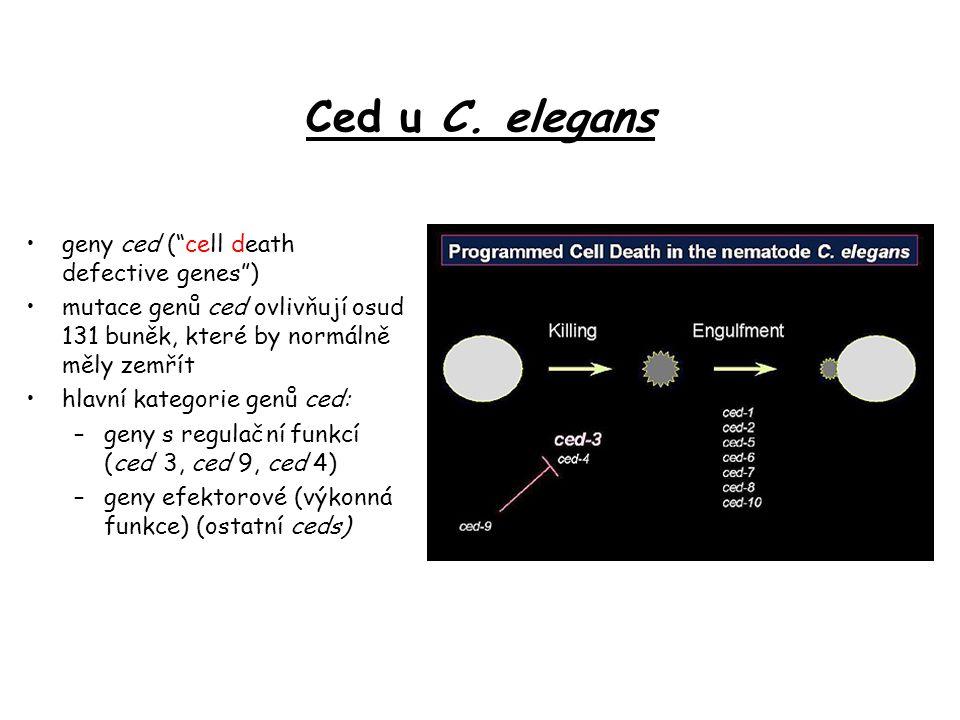 """Ced u C. elegans geny ced (""""cell death defective genes"""") mutace genů ced ovlivňují osud 131 buněk, které by normálně měly zemřít hlavní kategorie genů"""