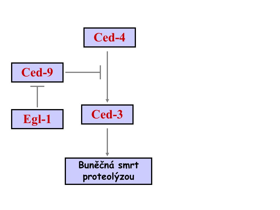 Ced-9 Buněčná smrt proteolýzou Ced-4 Ced-3 Egl-1