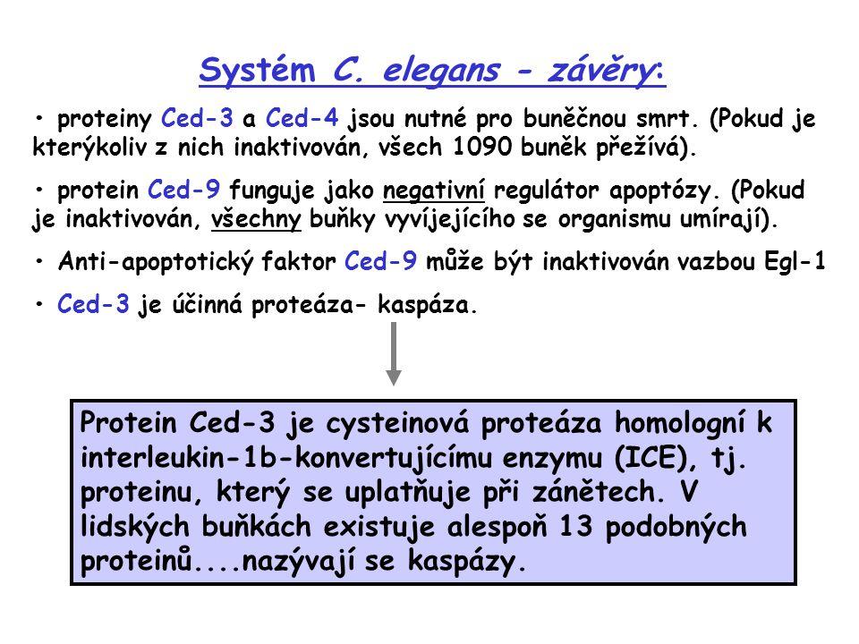 Systém C. elegans - závěry: proteiny Ced-3 a Ced-4 jsou nutné pro buněčnou smrt. (Pokud je kterýkoliv z nich inaktivován, všech 1090 buněk přežívá). p