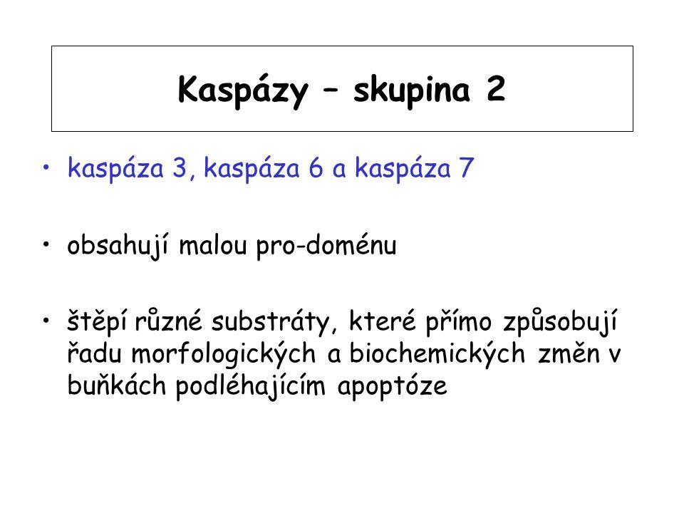 Kaspázy – skupina 2 kaspáza 3, kaspáza 6 a kaspáza 7 obsahují malou pro-doménu štěpí různé substráty, které přímo způsobují řadu morfologických a bioc