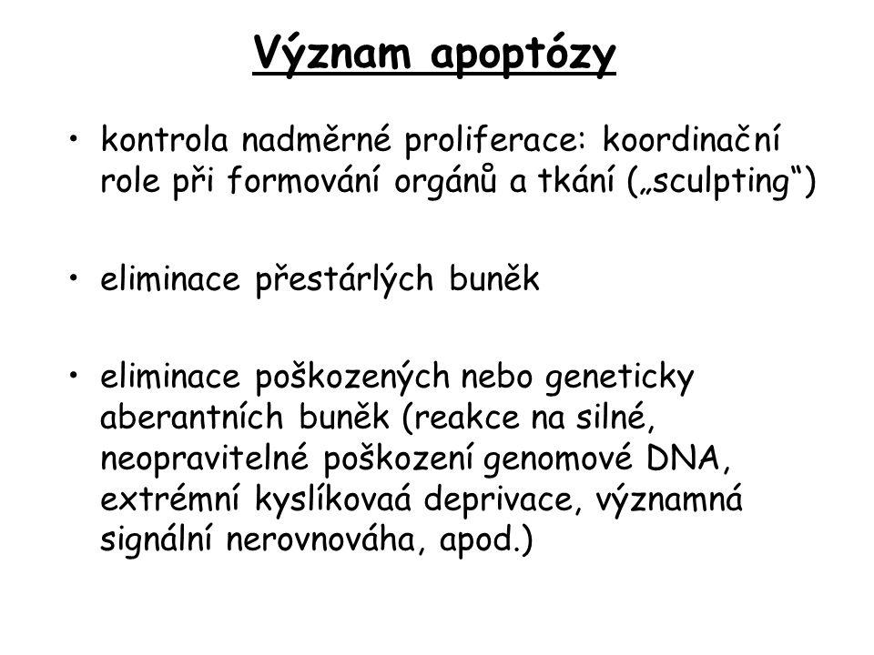 """kontrola nadměrné proliferace: koordinační role při formování orgánů a tkání (""""sculpting ) eliminace přestárlých buněk eliminace poškozených nebo geneticky aberantních buněk (reakce na silné, neopravitelné poškození genomové DNA, extrémní kyslíkovaá deprivace, významná signální nerovnováha, apod.) Význam apoptózy"""