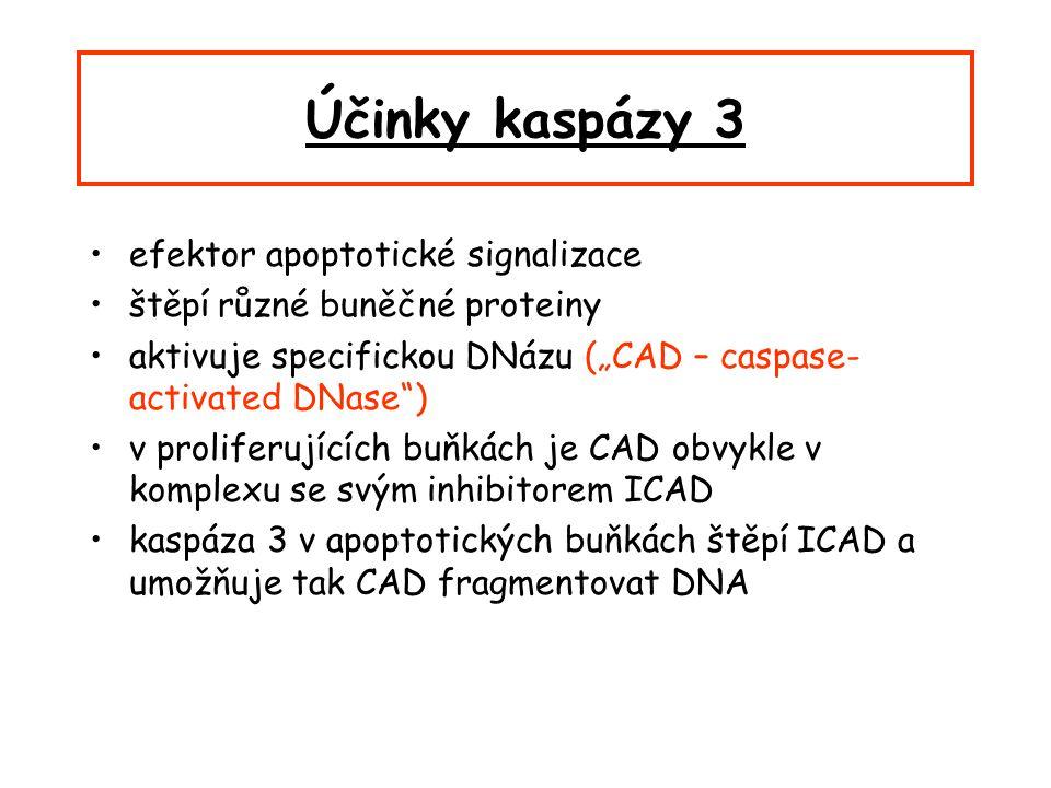 """Účinky kaspázy 3 efektor apoptotické signalizace štěpí různé buněčné proteiny aktivuje specifickou DNázu (""""CAD – caspase- activated DNase ) v proliferujících buňkách je CAD obvykle v komplexu se svým inhibitorem ICAD kaspáza 3 v apoptotických buňkách štěpí ICAD a umožňuje tak CAD fragmentovat DNA"""
