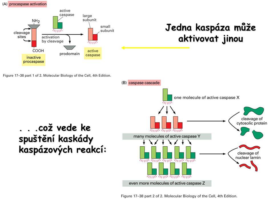 Jedna kaspáza může aktivovat jinou...což vede ke spuštění kaskády kaspázových reakcí: