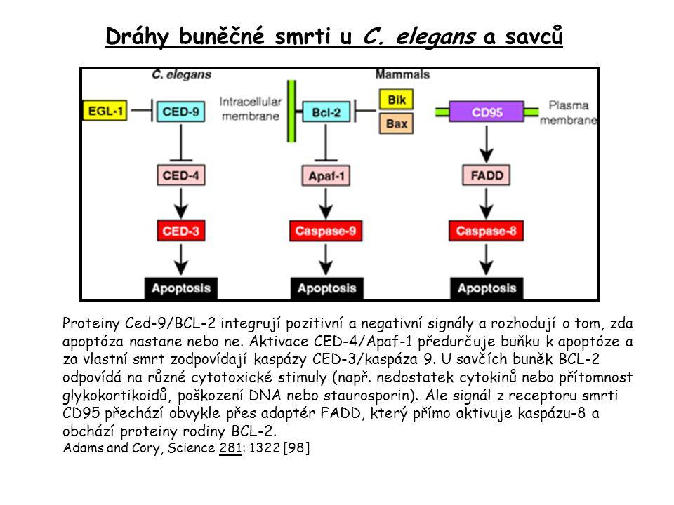 Proteiny Ced-9/BCL-2 integrují pozitivní a negativní signály a rozhodují o tom, zda apoptóza nastane nebo ne. Aktivace CED-4/Apaf-1 předurčuje buňku k