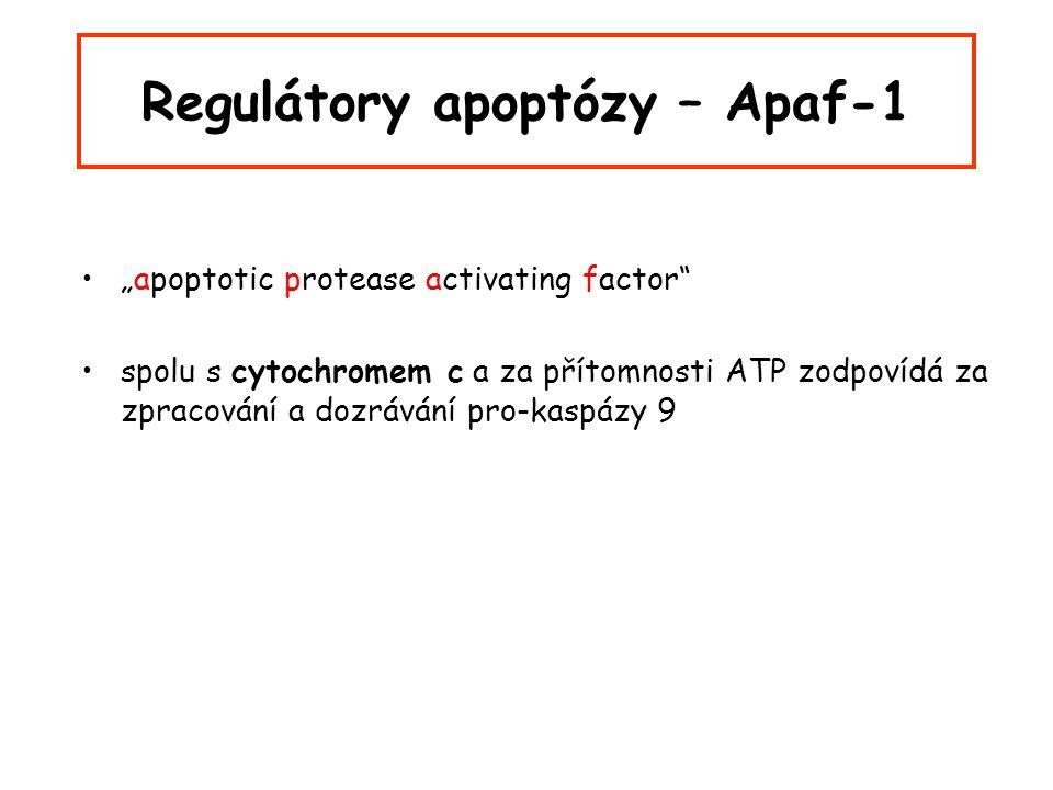 """Regulátory apoptózy – Apaf-1 """"apoptotic protease activating factor spolu s cytochromem c a za přítomnosti ATP zodpovídá za zpracování a dozrávání pro-kaspázy 9"""