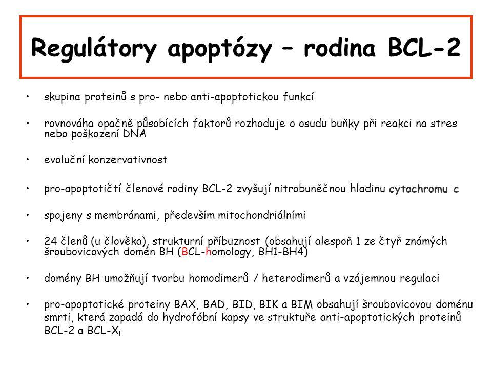Regulátory apoptózy – rodina BCL-2 skupina proteinů s pro- nebo anti-apoptotickou funkcí rovnováha opačně působících faktorů rozhoduje o osudu buňky při reakci na stres nebo poškození DNA evoluční konzervativnost pro-apoptotičtí členové rodiny BCL-2 zvyšují nitrobuněčnou hladinu cytochromu c spojeny s membránami, především mitochondriálními 24 členů (u člověka), strukturní příbuznost (obsahují alespoň 1 ze čtyř známých šroubovicových domén BH (BCL-homology, BH1-BH4) domény BH umožňují tvorbu homodimerů / heterodimerů a vzájemnou regulaci pro-apoptotické proteiny BAX, BAD, BID, BIK a BIM obsahují šroubovicovou doménu smrti, která zapadá do hydrofóbní kapsy ve struktuře anti-apoptotických proteinů BCL-2 a BCL-X L