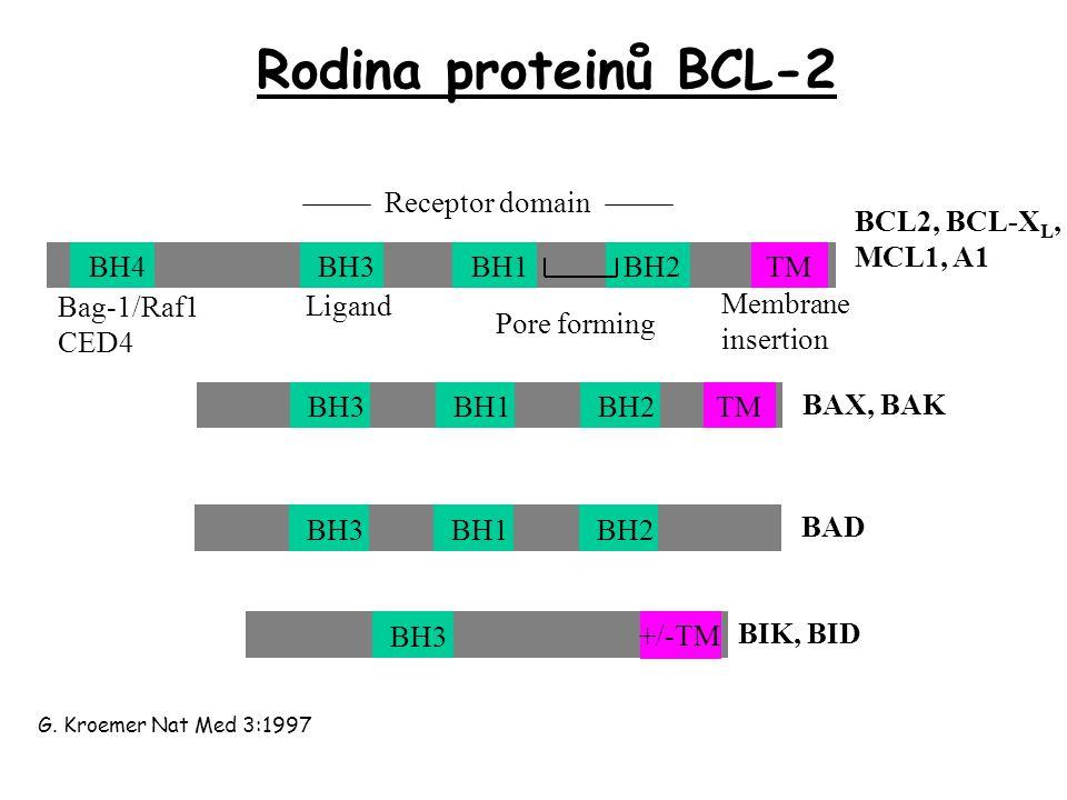 Rodina proteinů BCL-2 BH3BH1BH2 TM BAX, BAK BH3BH1BH2 BAD BH3 +/-TM BIK, BID BCL2, BCL-X L, MCL1, A1 BH4BH3BH1BH2 TM Bag-1/Raf1 CED4 Ligand Pore forming Membrane insertion G.