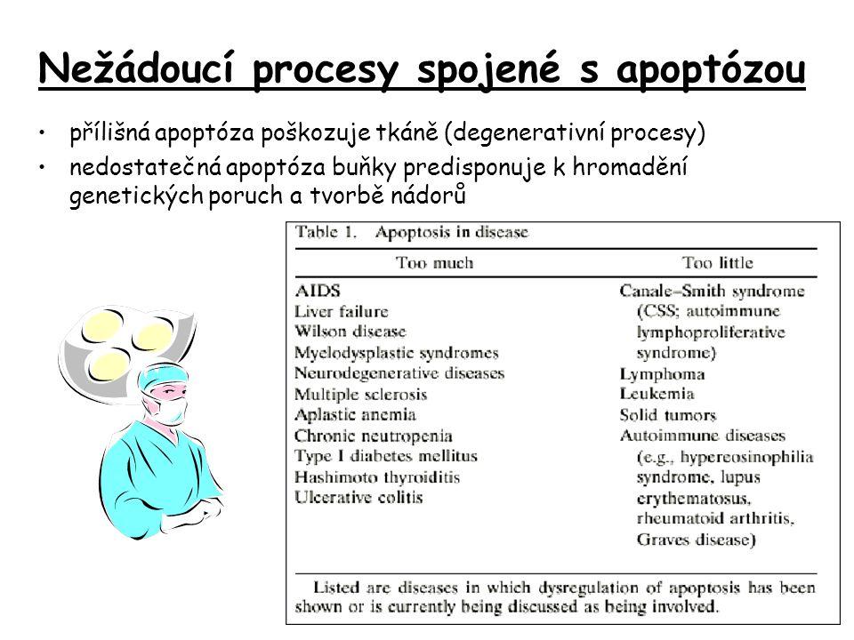 Nežádoucí procesy spojené s apoptózou přílišná apoptóza poškozuje tkáně (degenerativní procesy) nedostatečná apoptóza buňky predisponuje k hromadění genetických poruch a tvorbě nádorů