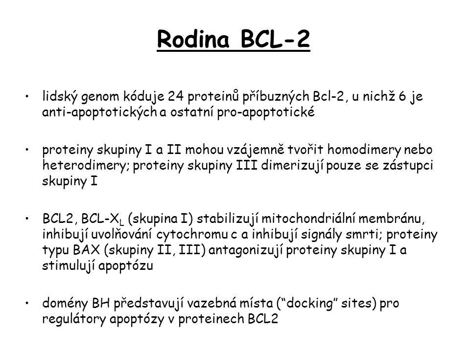 lidský genom kóduje 24 proteinů příbuzných Bcl-2, u nichž 6 je anti-apoptotických a ostatní pro-apoptotické proteiny skupiny I a II mohou vzájemně tvořit homodimery nebo heterodimery; proteiny skupiny III dimerizují pouze se zástupci skupiny I BCL2, BCL-X L (skupina I) stabilizují mitochondriální membránu, inhibují uvolňování cytochromu c a inhibují signály smrti; proteiny typu BAX (skupiny II, III) antagonizují proteiny skupiny I a stimulují apoptózu domény BH představují vazebná místa ( docking sites) pro regulátory apoptózy v proteinech BCL2 Rodina BCL-2