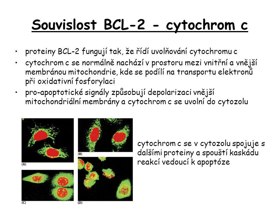 proteiny BCL-2 fungují tak, že řídí uvolňování cytochromu c cytochrom c se normálně nachází v prostoru mezi vnitřní a vnější membránou mitochondrie, k
