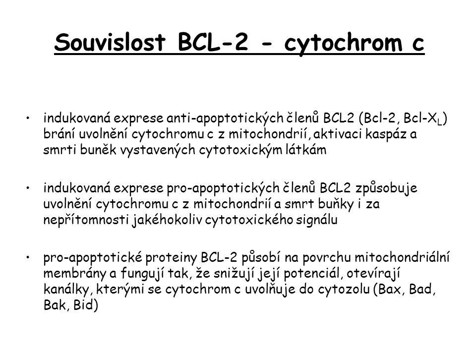 indukovaná exprese anti-apoptotických členů BCL2 (Bcl-2, Bcl-X L ) brání uvolnění cytochromu c z mitochondrií, aktivaci kaspáz a smrti buněk vystavených cytotoxickým látkám indukovaná exprese pro-apoptotických členů BCL2 způsobuje uvolnění cytochromu c z mitochondrií a smrt buňky i za nepřítomnosti jakéhokoliv cytotoxického signálu pro-apoptotické proteiny BCL-2 působí na povrchu mitochondriální membrány a fungují tak, že snižují její potenciál, otevírají kanálky, kterými se cytochrom c uvolňuje do cytozolu (Bax, Bad, Bak, Bid) Souvislost BCL-2 - cytochrom c