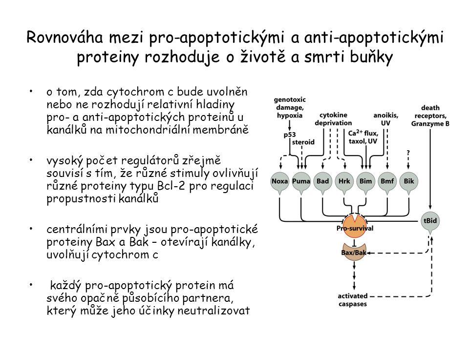 Rovnováha mezi pro-apoptotickými a anti-apoptotickými proteiny rozhoduje o životě a smrti buňky o tom, zda cytochrom c bude uvolněn nebo ne rozhodují relativní hladiny pro- a anti-apoptotických proteinů u kanálků na mitochondriální membráně vysoký počet regulátorů zřejmě souvisí s tím, že různé stimuly ovlivňují různé proteiny typu Bcl-2 pro regulaci propustnosti kanálků centrálními prvky jsou pro-apoptotické proteiny Bax a Bak – otevírají kanálky, uvolňují cytochrom c každý pro-apoptotický protein má svého opačně působícího partnera, který může jeho účinky neutralizovat
