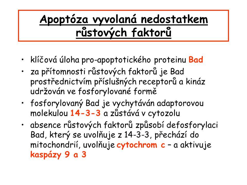 Apoptóza vyvolaná nedostatkem růstových faktorů klíčová úloha pro-apoptotického proteinu Bad za přítomnosti růstových faktorů je Bad prostřednictvím příslušných receptorů a kináz udržován ve fosforylované formě fosforylovaný Bad je vychytáván adaptorovou molekulou 14-3-3 a zůstává v cytozolu absence růstových faktorů způsobí defosforylaci Bad, který se uvolňuje z 14-3-3, přechází do mitochondrií, uvolňuje cytochrom c – a aktivuje kaspázy 9 a 3