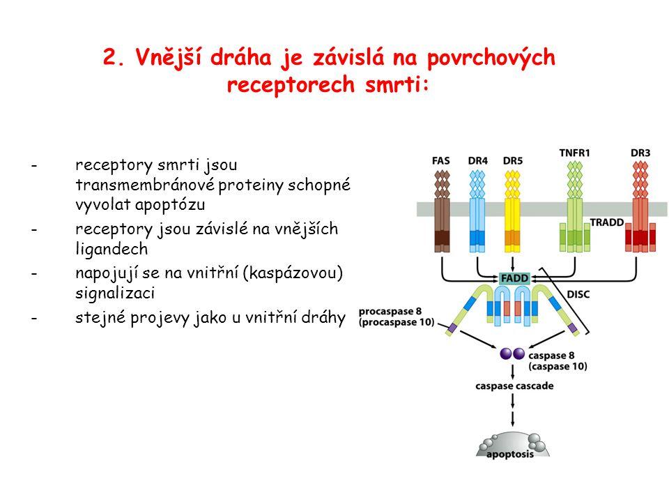 - receptory smrti jsou transmembránové proteiny schopné vyvolat apoptózu -receptory jsou závislé na vnějších ligandech -napojují se na vnitřní (kaspázovou) signalizaci -stejné projevy jako u vnitřní dráhy 2.