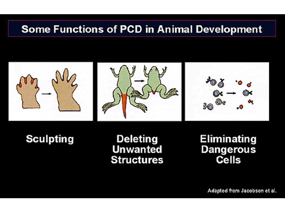Faktory řídící aktivitu BCL-2 cytozolické proteiny během apoptózy translokují do mitochondrií vážou a ovlivňují aktivitu BCL2 nebo přímo řídí uvolňování cytochromu c