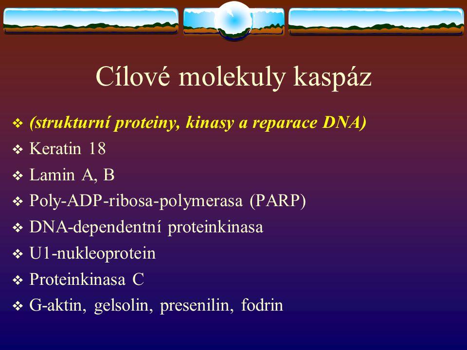 Cílové molekuly kaspáz  (strukturní proteiny, kinasy a reparace DNA)  Keratin 18  Lamin A, B  Poly-ADP-ribosa-polymerasa (PARP)  DNA-dependentní