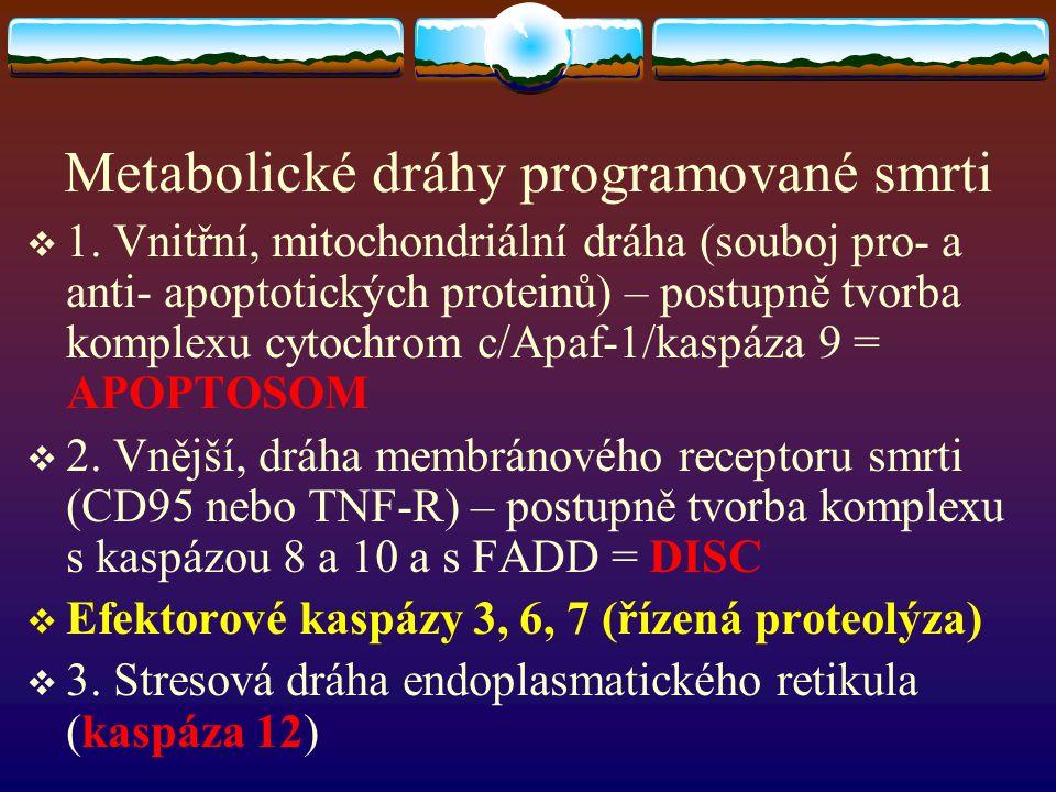 Metabolické dráhy programované smrti  1. Vnitřní, mitochondriální dráha (souboj pro- a anti- apoptotických proteinů) – postupně tvorba komplexu cytoc