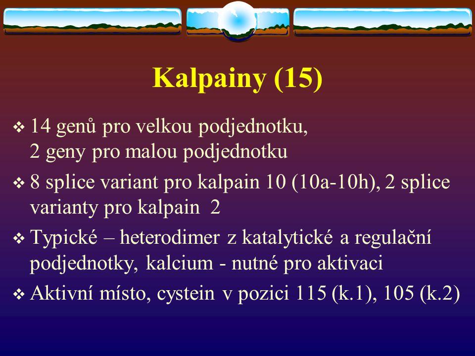 Kalpainy (15)  14 genů pro velkou podjednotku, 2 geny pro malou podjednotku  8 splice variant pro kalpain 10 (10a-10h), 2 splice varianty pro kalpai