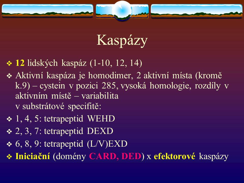 Kaspázy  12 lidských kaspáz (1-10, 12, 14)  Aktivní kaspáza je homodimer, 2 aktivní místa (kromě k.9) – cystein v pozici 285, vysoká homologie, rozd