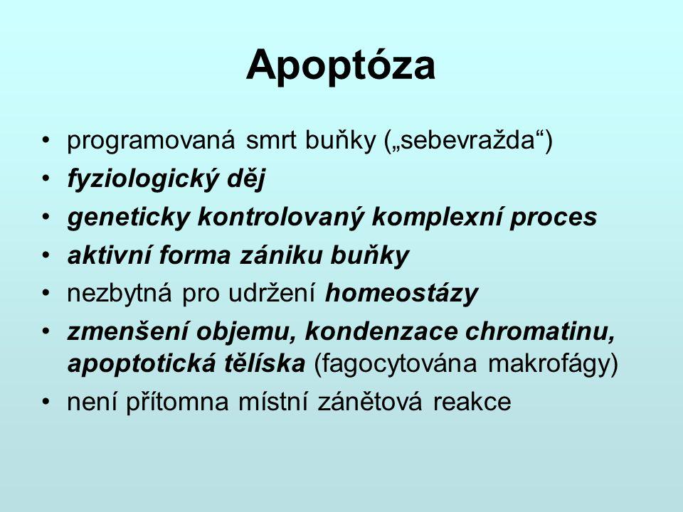 """Apoptóza programovaná smrt buňky (""""sebevražda"""") fyziologický děj geneticky kontrolovaný komplexní proces aktivní forma zániku buňky nezbytná pro udrže"""