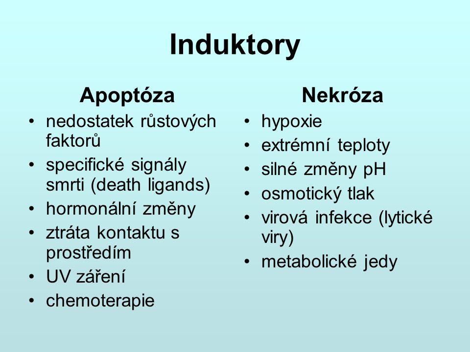 Induktory Apoptóza nedostatek růstových faktorů specifické signály smrti (death ligands) hormonální změny ztráta kontaktu s prostředím UV záření chemo