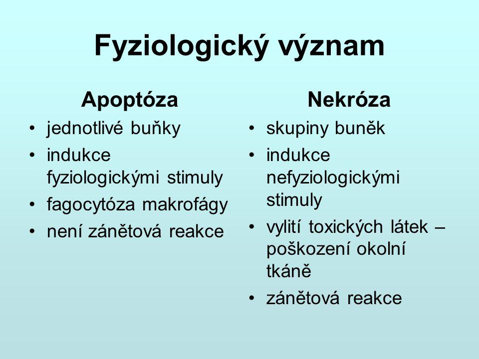 Fyziologický význam Apoptóza jednotlivé buňky indukce fyziologickými stimuly fagocytóza makrofágy není zánětová reakce Nekróza skupiny buněk indukce n