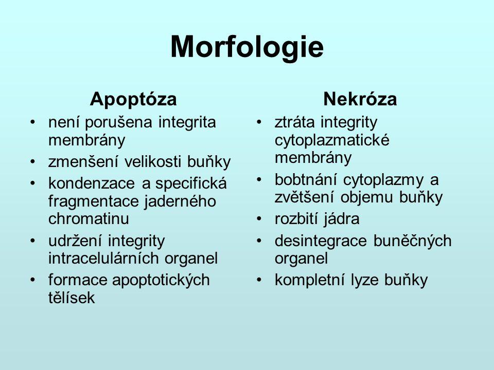 Morfologie Apoptóza není porušena integrita membrány zmenšení velikosti buňky kondenzace a specifická fragmentace jaderného chromatinu udržení integri